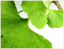 イチョウ葉の原料