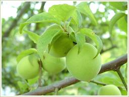 高品質の梅と梅肉エキスを使用