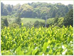 原料には国産・緑茶を使用