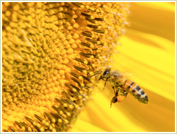 ミツバチ花粉