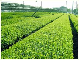 国産ギャバロン茶
