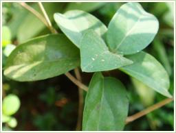 ギムネマの葉