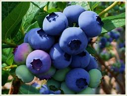 高品質のカナダ産・ブルーベリーを使用