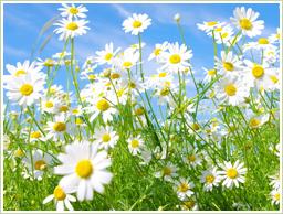 高品質な菊花を使用