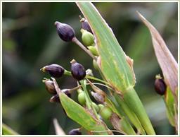 高品質の発芽ハトムギを使用