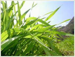 国産の大麦若葉を使用