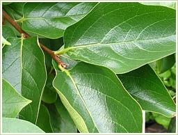 国産・無農薬の柿葉を使用