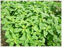 自社栽培のアマランサス葉を使用