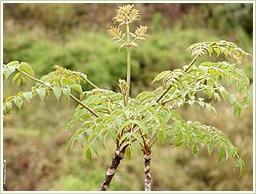 高品質・国産のタラの葉を使用
