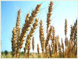 国産の玄小麦を使用