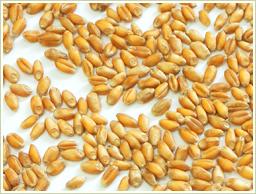 玄小麦とは